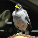 Photo Jolts! How is this Mynah a Metaphor for Brilliance?