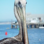 Photo Jolts! How is this Pelican a Metaphor for Charity?