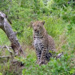 PhotoJolts! How is this Leopard a Metaphor for Leadership?