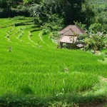 Photo Jolts! How is this Rice field a Metaphor for Ego?